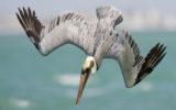 Pelican Drone